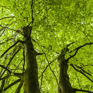 Beech trees  by Firgrove Photographic