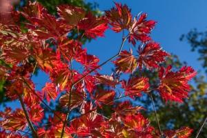 Acer japonicum 'Aconitifolium' / www.firgrovephotographic.co.uk