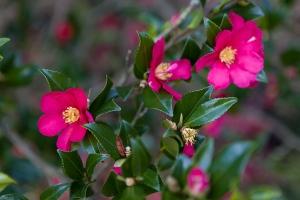 Camellia sasanqua / firgrove photographic.co.uk