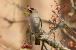 Waxwing by Mike Jennings