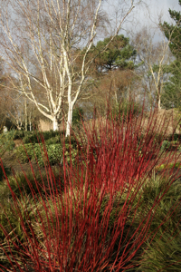 Dogwoods & Silver Birch at Sir Harold Hillier Gardens