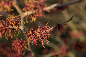 Hamamelis by Firgrove Photographic