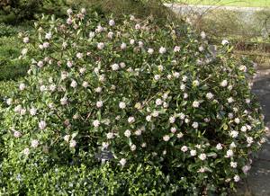 Daphne odora f.alba