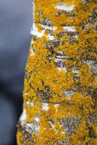 Lichen on silver birch