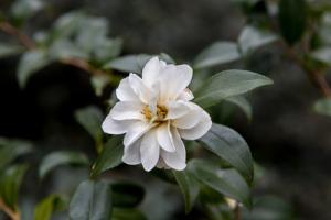 Camellia x vernalis