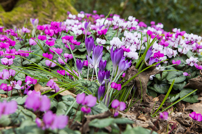 crocus and cyclamen hederifolium