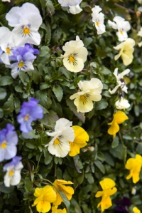 Pansies at Wisley