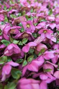 Helleborus 'Walberton's Rosemary'
