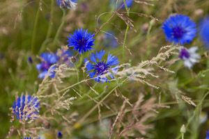 cornflowers by Firgrove Photographic