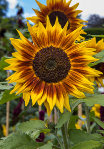 sunflowers by Firgrove Photographic