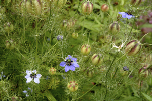 Nigella, Love in a Mist