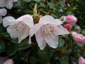 Dwarf Rhododendron williamsianum AGM