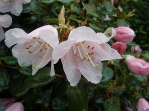 Dwarf Rhododendron williamsianum AGM