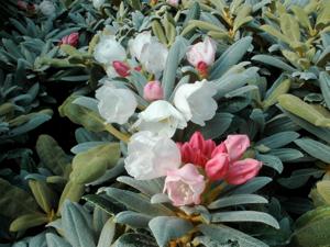 Rhododendron yakushimanum 'Koichiro Wada' AGM