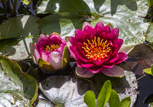 Water lilies Firgrove Photographic