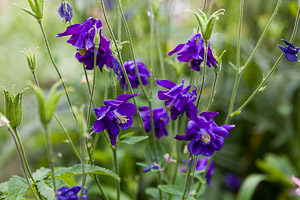 Aquilegia by Firgrove Photographic