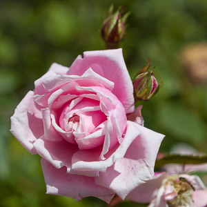 Rose by Firgrove Photographic