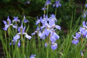 Iris sibirica Tropic Night