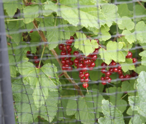 netting redcurrants
