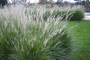 Pennisetum 'Fairy Tails' in autumn as the flowers fade in colour