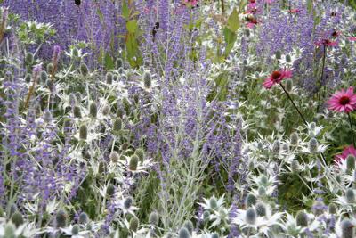 Eryngium Silver Ghost, Perovskia, Echinacea