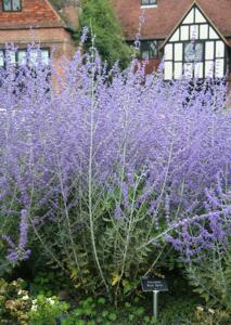 Perovskia 'Blue Spire' at RHS Wisley Gardens
