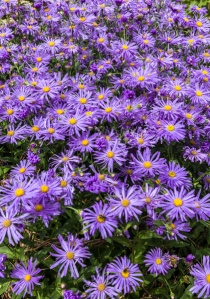 Aster Monch by Firgrove Photographic