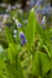 Pontederia cordata, Firgrove Photographic