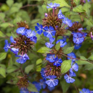 Ceratostigma willmottianum by Firgrove Photographic