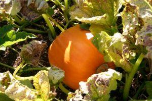 pumpkin ripening