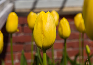 Tulips by Firgrove Photographic