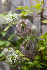 Clematis Freckles seedheads