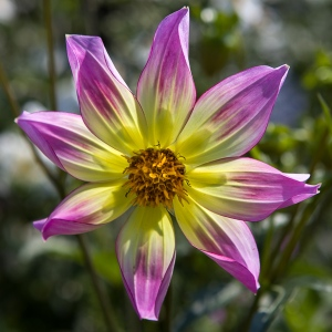 Dahlia by Firgrove Photographic