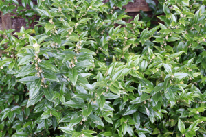 Winter colour janetbligh any reasonable soil with small glossy evergreen leaves position it near a door or pathway where you will get the benefit of its beautiful fragrance mightylinksfo