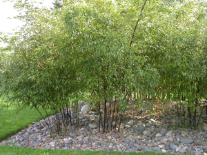 Bamboos are a great screening plant - but handle with care.