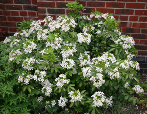 Choisya ternata is a great structural evergreen shrub with scented white flowers in spring and late summer