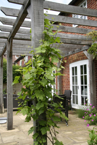 A newly planted vine will soon cover this oak pergola