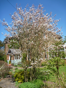 Amelanchier lamarckii is a lovely small airy tree for the garden