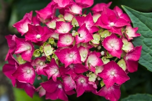 Hydrangea by Firgrove Photographic