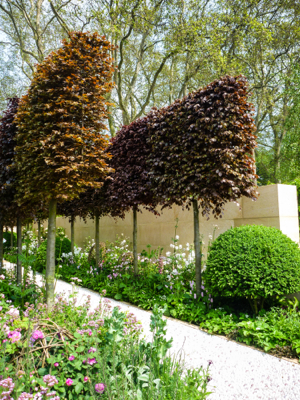pleached copper beech