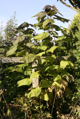catalpa coppiced