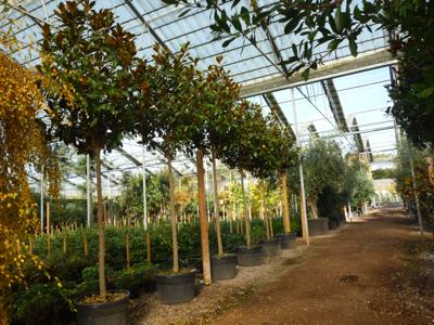 Standard Magnolia Grandiflora at a nursery
