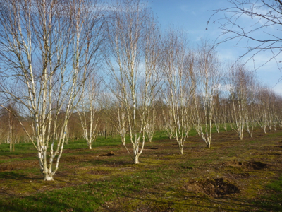 multi stemmed silver Birch