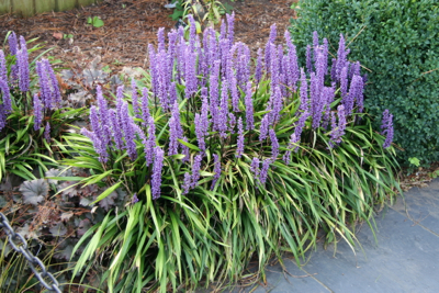 5 essential small evergreen plants janet bligh garden design liriope muscari mightylinksfo