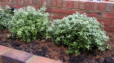 5 Essential Small Evergreen Plants Janetbligh