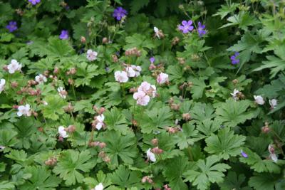 geranium maccrorhizum