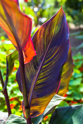 canna leaf c.Firgrove Photographic