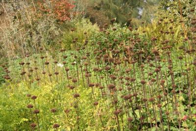phlomis-seedheads-janet-bligh