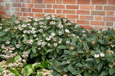 viburnum-davidii-janet-bligh