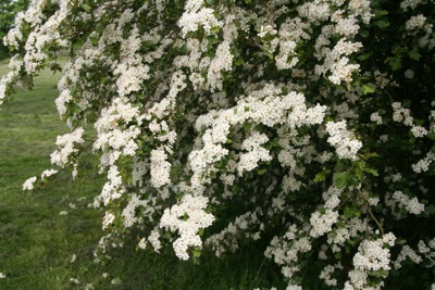 hawthorn-in-flower